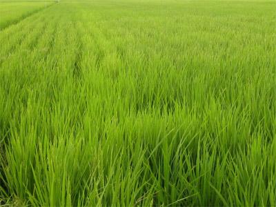 稲も大きく育ちました