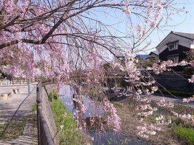 さざなみ公園の枝垂れ桜