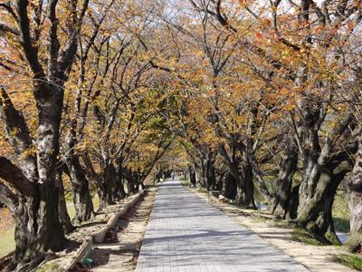 秋の桜トンネル