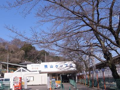 八幡市駅前の桜
