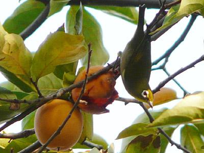柿の木のメジロ