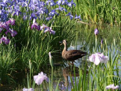 山田池公園の菖蒲池