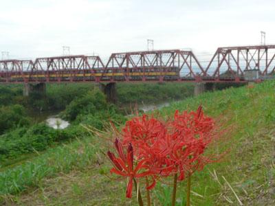 木津川の土手に咲く彼岸花