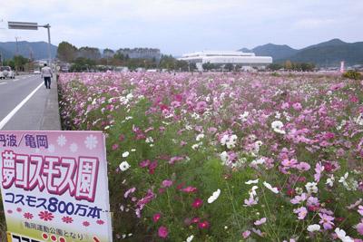亀岡のコスモス園