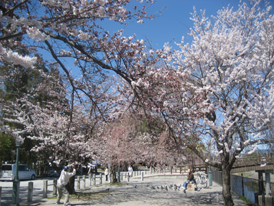 さざなみ公園の桜