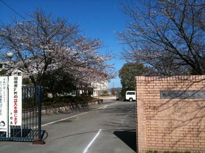 男山中学校の桜