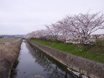 大谷川の桜並木