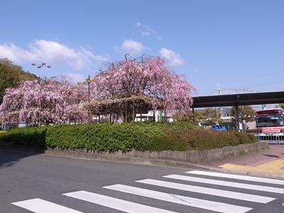 駅前の枝垂れ桜