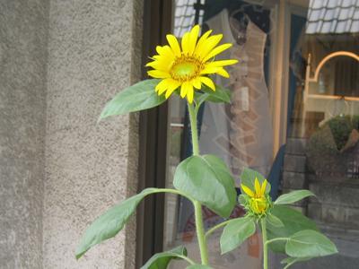 こども110番のひまわりの花