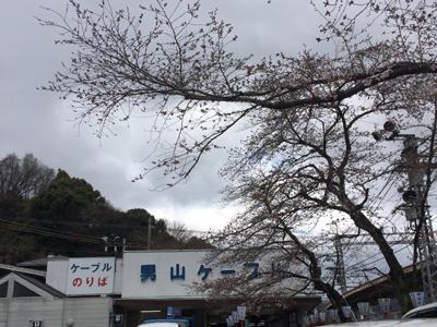 八幡駅前の桜
