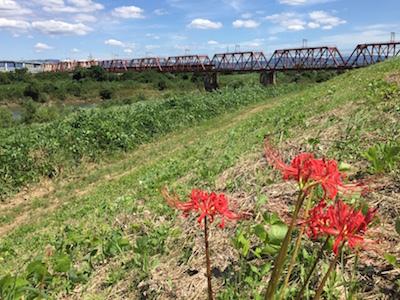 木津川の彼岸花