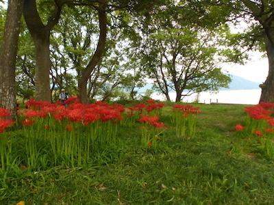 桂浜園地の彼岸花