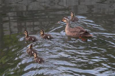 放生川の鴨の親子
