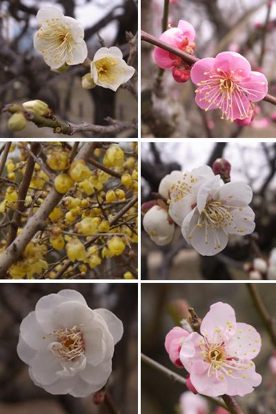 大阪城梅林の梅