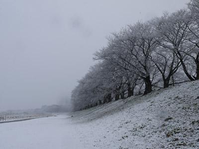 雪の背割堤