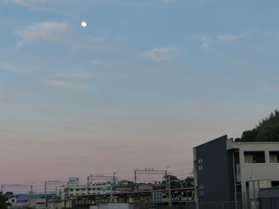 日暮れ時のカルガモ散歩