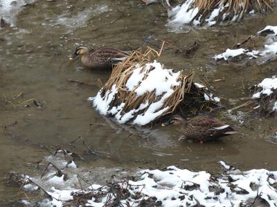 大谷川の鴨