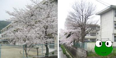八幡小の桜.jpg